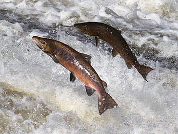 Salmon jumping fish pass